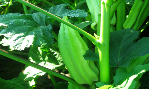 okra   Soil pH – Guide to Acidic Soil and Alkaline Soil Adjustment