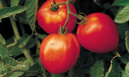 tomatoes   Soil pH – Guide to Acidic Soil and Alkaline Soil Adjustment