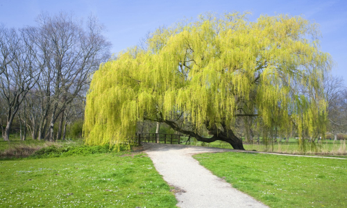 weeping willow   Growing and Gardening in Silty Soil