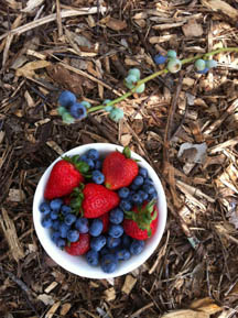 BlueberryStrawberry 45K   Does Garden Soil Makes Us Happy + Smart?